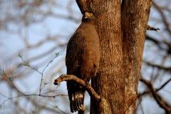 Serpent sagle menacing look Royalty Free Stock Images