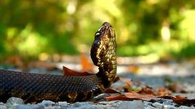 Serpent Shawnee National Forest de Cottonmouth banque de vidéos