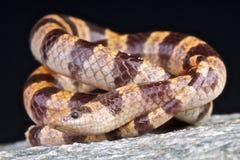 Serpent Shovel-nosed de Mohave images libres de droits