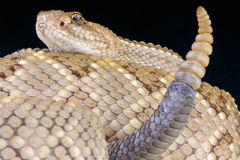 Serpent à sonnettes d'Aruba/durissus de Crotalus unicolore Images stock
