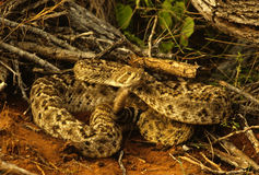 Serpent à sonnettes de dos en forme de losange enroulé Image stock