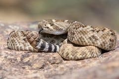 Serpent à sonnettes de dos en forme de losange occidental posé pour frapper Image libre de droits