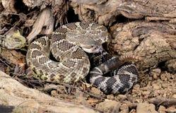 Serpent à sonnettes Pacifique du sud (helleri de viridis de Crotalus). Photographie stock libre de droits