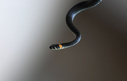 Serpent Royalty Free Stock Images