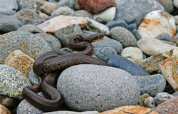 The serpent on the stones. Stock Photos