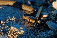 Serpent sur des roches pendant le coucher du soleil photos stock