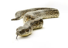 Serpent sur le blanc Images libres de droits