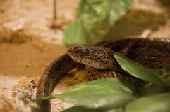 Serpent tiré dans le terrarium Photos stock