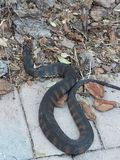 Serpent toxique images libres de droits