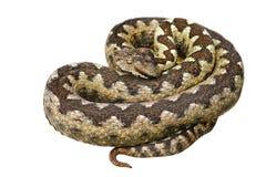 Serpent venimeux européen d'isolement Photo libre de droits