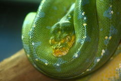 Serpent vert photos libres de droits
