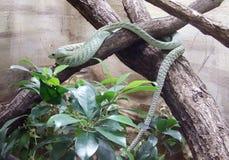 Serpent vert Photos stock