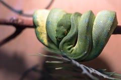Serpent vert dans le terrarium Images libres de droits