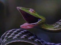 Serpent vert de vin Photographie stock