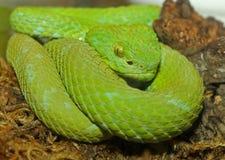 Serpent vert de vipère d'arbre Photographie stock