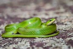 Serpent vert lisse images stock