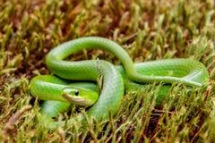 Serpent vert lisse photos libres de droits