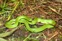 Serpent vert lisse (vernalis d'Opheodrys) Photo stock