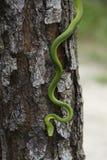 Serpent vert rugueux Photographie stock libre de droits
