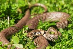 Serpent vivant sur l'herbe Images libres de droits