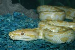 Serpent Royalty Free Stock Photos