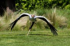 Serpentarius Sagittarius Secretarybird ή πουλιών γραμματέων σε ΛΦ στοκ φωτογραφία