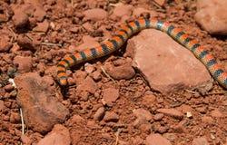 Serpente à terra ocidental Imagem de Stock