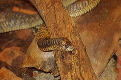 Serpente fotografie stock