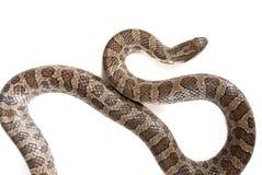 Serpente Fotografie Stock Libere da Diritti