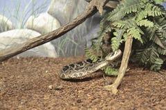 Serpente Fotografia Stock Libera da Diritti