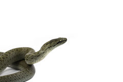 Serpente Foto de Stock Royalty Free