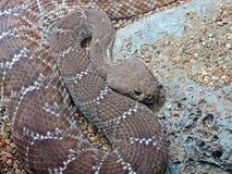 Serpente Immagini Stock