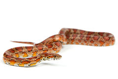 Serpente fotos de stock royalty free