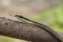 Serpente Immagini Stock Libere da Diritti