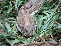 Serpente Fotografia de Stock
