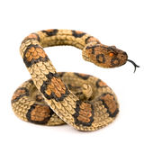 Serpente Immagine Stock Libera da Diritti