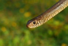 Serpente Imagem de Stock Royalty Free