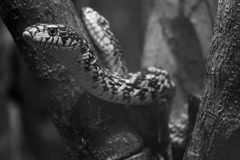 Serpente Imagem de Stock Royalty Free