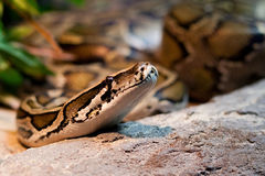 Serpente Fotografia de Stock Royalty Free