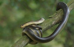 Serpente Aesculapian Imagem de Stock