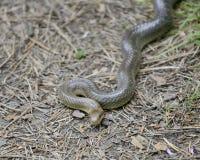 Serpente Aesculapian in natura Fotografia Stock