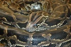 Serpente africana do sul do pitão da rocha fotografia de stock
