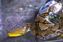 Serpente allo zoo di Ubud, Bali, Indonesia immagine stock libera da diritti