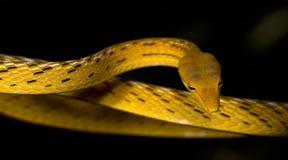 Serpente amarela bonita, Whip Snake oriental Fotografia de Stock
