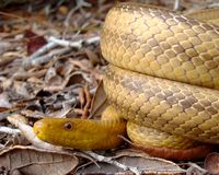 Serpente amarela constricting bobinado na terra Fotografia de Stock