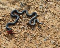 serpente Anello-con il collo. Fotografie Stock