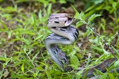 Serpente arrabbiato Fotografia Stock Libera da Diritti