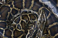 Serpente arrotolato Immagini Stock Libere da Diritti