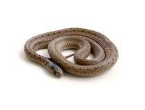 Serpente arrotolato fotografia stock