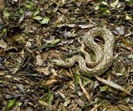 Serpente arrotolato su terra Fotografia Stock